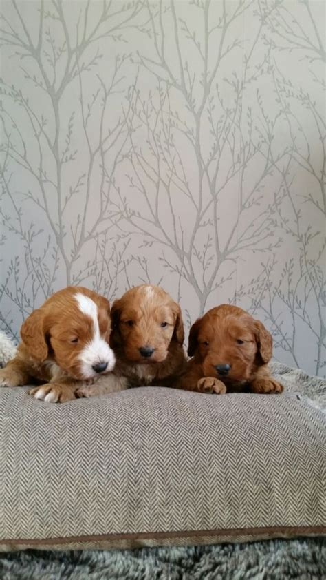Beautiful Toy F1 cockapoo puppies | Manchester, Greater
