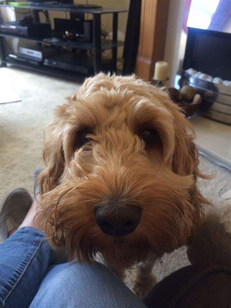 Female cockapoo * apricot * buyer interested | Doncaster
